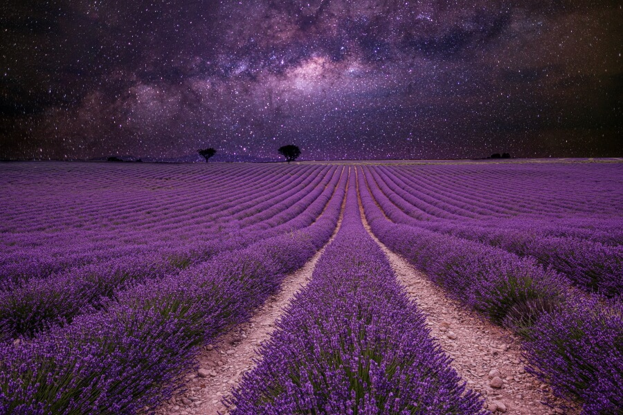 Night photo of a lavender field with starry sky