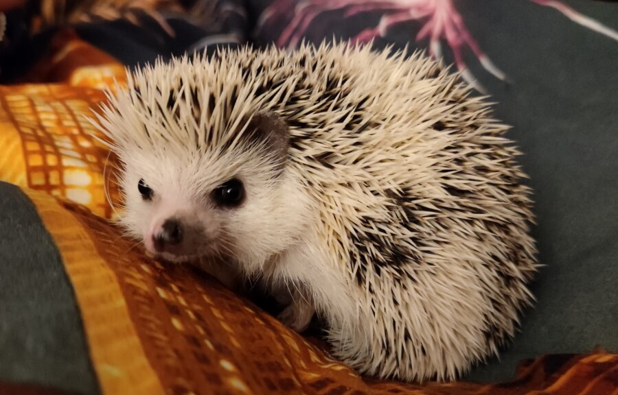 Picture of an unusual pet: an african hedgehog