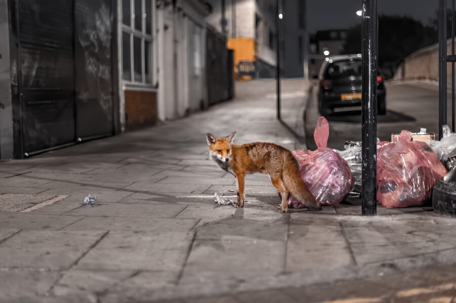 Picture of a fox caught at night in the streets of London