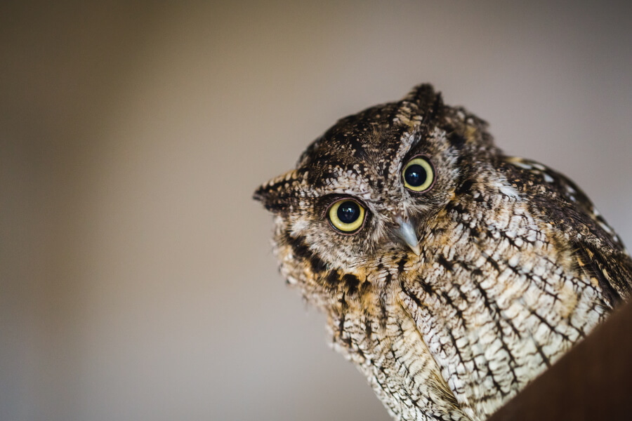 Close-up picture of an owl